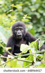 The mountain gorilla (Gorilla beringei beringei) sitting on the green bush, gorillas baby in the bush