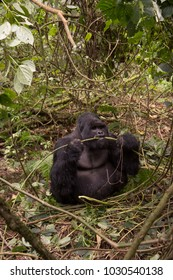Mountain Gorilla feeding in an opening in the bush in Volcanoes National Park, Rwanda