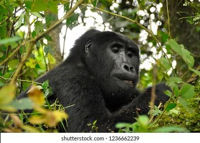mountain gorilla in the jungle of uganda and rwanda