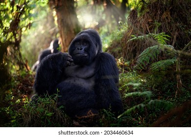 Mountain gorilla, Mgahinga National Park in Uganda. Close-up photo of wild big black silverback monkey in the forest, Africa. Wildlife nature. Mammal in green vegetation. Gorilla sitting in forest,