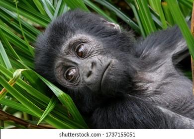 Mountain Gorilla portrait from Bwindi NP in Uganda