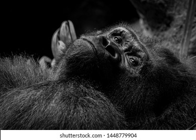 mountain gorilla portrait, close-up picture