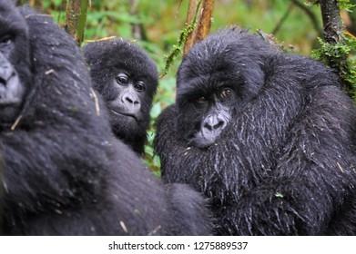 Mountain gorilla in a rainforest in Rwanda