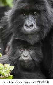 Mountain Gorilla - Rwanda - Africa