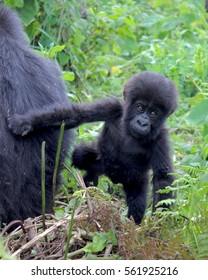 Mountain Gorilla, Sabyinyo Family, 2017, Female and Baby. Father is Silverback Guhonda.