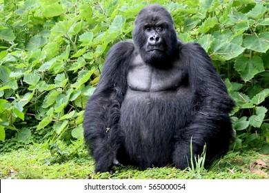 Mountain Gorilla, Sabyinyo Family, Silverback Guhonda