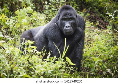 Mountain gorilla stands in rich vegetation and looks towards camera in Bwindi Impenetrable National Park in Uganda