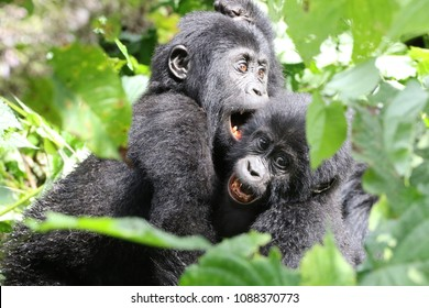 Mountain Gorilla, two young Mountain Gorilla playing in the sun, Bwindi Forest, Uganda, Africa
