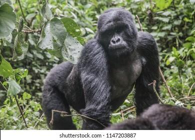 Mountain gorilla in the wild