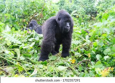 mountain gorillas of the Congo
