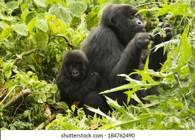 Mountain gorillas, Gorilla gorilla beringei,  ENDANGERED, Kwitonda group, mother and baby, female eating thistle, Volcanoes National Park, Rwanda