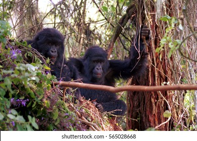 Mountain gorillas, Volcano National Park, Rwanda