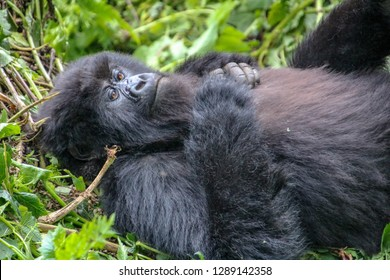 Mountain gorillas in Volcanoes National Park, Rwanda, Africa