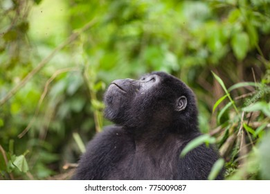 Mountain Gorillas in the wild