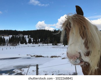 Mountain hafling horse on snowy pasture