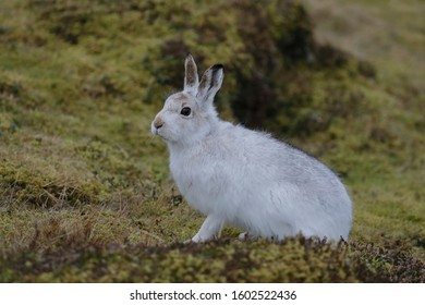 The mountain hare, also known as snow, alpine and Irish hare, is a Palearctic hare that is largely adapted to polar and mountainous regions.