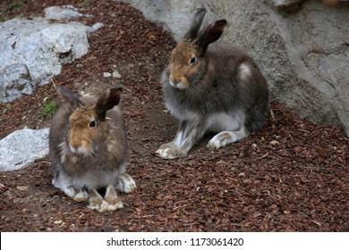 Mountain hare (Lepus timidus),