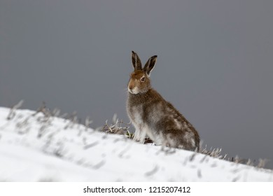Mountain Hare, Lepus timidus, during October still in summer coat surrounded by snow in the cairngorms NP, scotland.