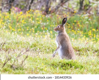 The mountain hare (Lepus timidus), also known as tundra hare, snow hare,  is a Palearctic hare.