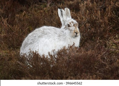 The mountain hare (Lepus timidus), also known as blue hare, tundra hare, variable hare, white hare, snow hare, alpine hare and Irish hare. Here seen on a Scottish Mountain in the Heather.