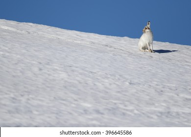 The mountain hare (Lepus timidus), also known as blue hare, tundra hare, variable hare, white hare, snow hare, alpine hare and Irish hare. Here seen on a Scottish Mountain amongst the snow.