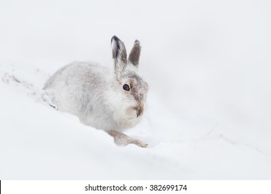 Mountain hare (Lepus timidus) sitting on a hillside in the snow