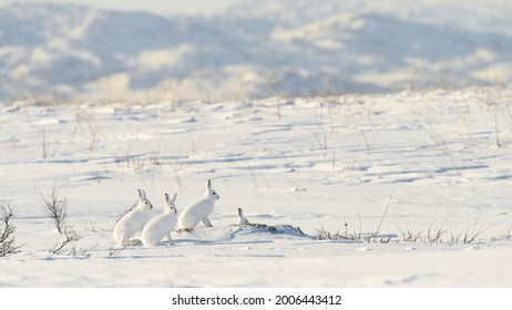 Mountain hare (Lepus timidus) with white fur in snowy landscape, Vardø, Norway