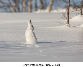 The mountain hare, Lepus timidus, in winter pelage, sitting with its back towards camera, looking right, in the snowy winter landscape with birch trees and blue sky, in Setesdal, Norway