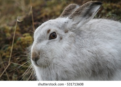Mountain Hare (Lepus timidus ) in its winter white coat  high in the Scottish mountains.