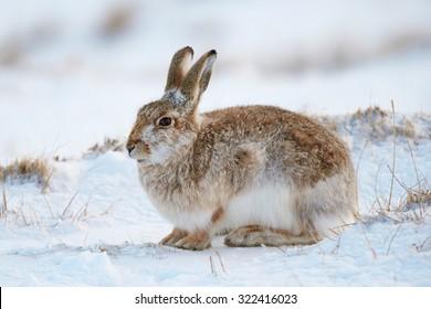 雪の多い山の山ウサギ(ルプス・チミダス)英国スコットランド、カーンゴルム国立公園