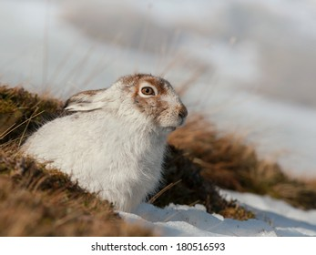A Mountain Hare in the snow in the Cairngorm mountains