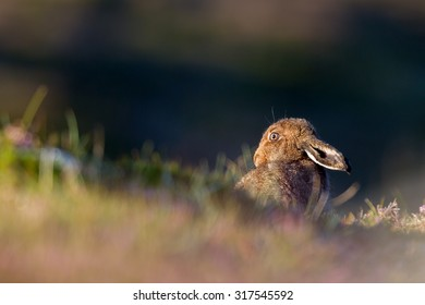 Mountain Hare in Summer