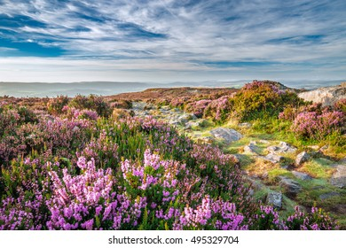 Mountain Heather Flowers Meadow in Morning Light