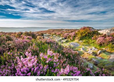 Mountain Heather Flowers Meadow in Morning Light