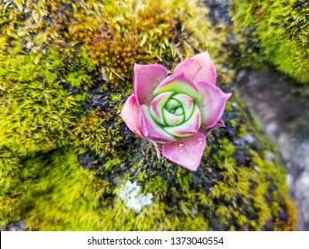 Mountain houseleek plant, Sempervivum montanum, growing over a old wall