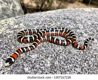 Mountain Kingsnake, Lampropeltis pyromelana, a coral snake mimic