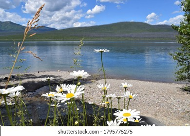 Mountain lake with daisies in foreground. Lake McDonald. Glacier National Park, Montana.