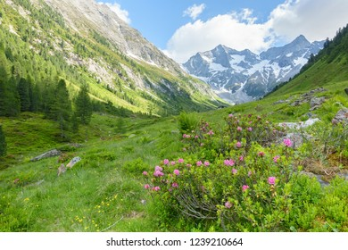 Mountain landscape with alpine roses