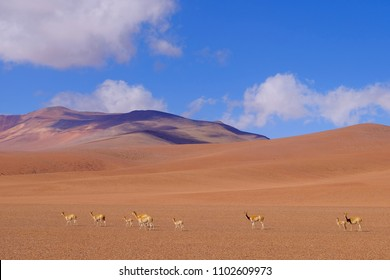 Mountain landscape of the Andes with grazing vicunas or guanacos, near Paso Jama, Chile, South America. Vicunas, guanacos and llamas belong to the camelids family.