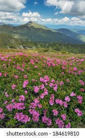Mountain landscape with blossoming meadow. Summer pink rhododendron flowers. Carpathian mountains, Ukraine