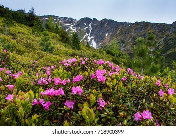 Mountain landscape with blossoming meadow Summer pink rhododendron flowers Carpathian mountains, Romania