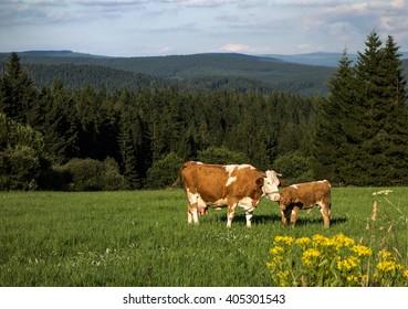 Mountain Landscape with cows, Jizerske hory, Czech Republic
