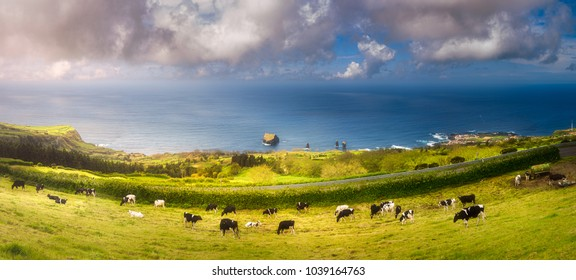 Mountain landscape with cows on beautiful meadows and view of ocean Ponta Delgada, Sao Miguel Island, Azores, Portugal.