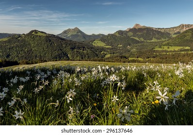 Mountain landscape with fields of narcissus on foreground