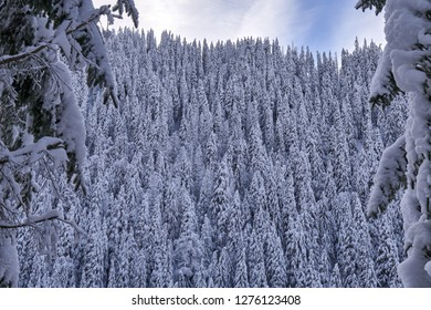 Mountain landscape with fir trees covered in snow