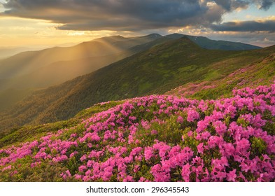 Mountain landscape with flowers. Blooming pink rhododendron in the early summer. An evening with sunset. The sun behind the clouds. Carpathian Mountains, Ukraine