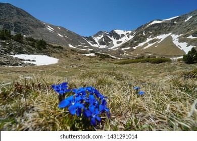 Mountain landscape massif of Carlit with blue flowers in foreground, France, Pyrenees-Orientales, natural park of the Catalan Pyrenees