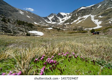 Mountain landscape the massif of Carlit with flowers in foreground, France, natural park of the Catalan Pyrenees, Pyrenees-Orientales