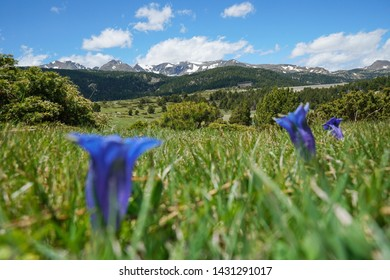 Mountain landscape meadow with blue flowers in foreground, France, Pyrenees-Orientales, natural park of the Catalan Pyrenees