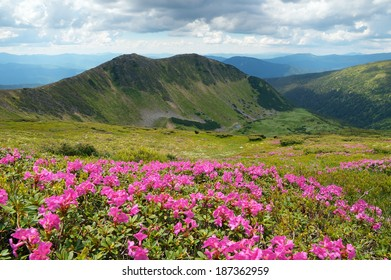 Mountain landscape with meadow flowers a sunny day. Bushes blooming pink rhododendron. Carpathian mountains, Ukraine